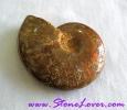 Ammonite Fossil / ฟอสซิลหอย [71623]