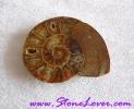 Ammonite Fossil / ฟอสซิลหอย [71651]