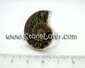 Ammonite Fossil Ring / แหวน ฟอสซิลหอย [13121404]